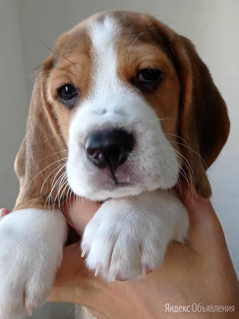 Щенки Бигль по цене 35000₽ - Собаки, фото 0