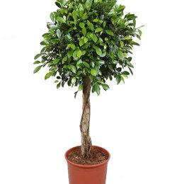 Комнатные растения - Фикус Бенджамина Нитида штамбовый, 0