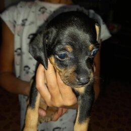 Собаки - Черно подпалый щенок  карликовый пинчер, 0