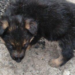 Собаки - Немецкая овчарка, 0