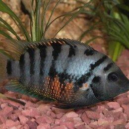 Аквариумные рыбки - Цихлазома чернополосая (мальки), 0