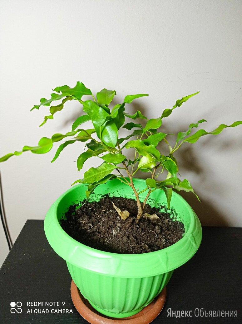 Фикус бенджамина по цене 350₽ - Комнатные растения, фото 0