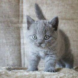 Кошки - Британские котята голубой окрас, 0