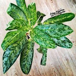 Комнатные растения - Аглаонема роял даймонд(домашняя) , 0