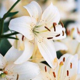 Луковичные растения -  Рябчик императорский, Кандык, подснежник, тюльпан, нарцисс , Лилии , 0