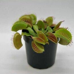 Комнатные растения - Венерина мухоловка (Дионея) Растения хищники, 0