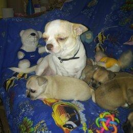 Собаки - Чихуахуа гладкошерстные белые щенки, 0