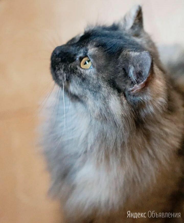Пепельная красавица Молли ждет свою семью по цене даром - Кошки, фото 0