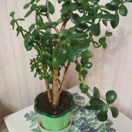 Комнатные растения - Крассула толстянка, денежное дерево, 0