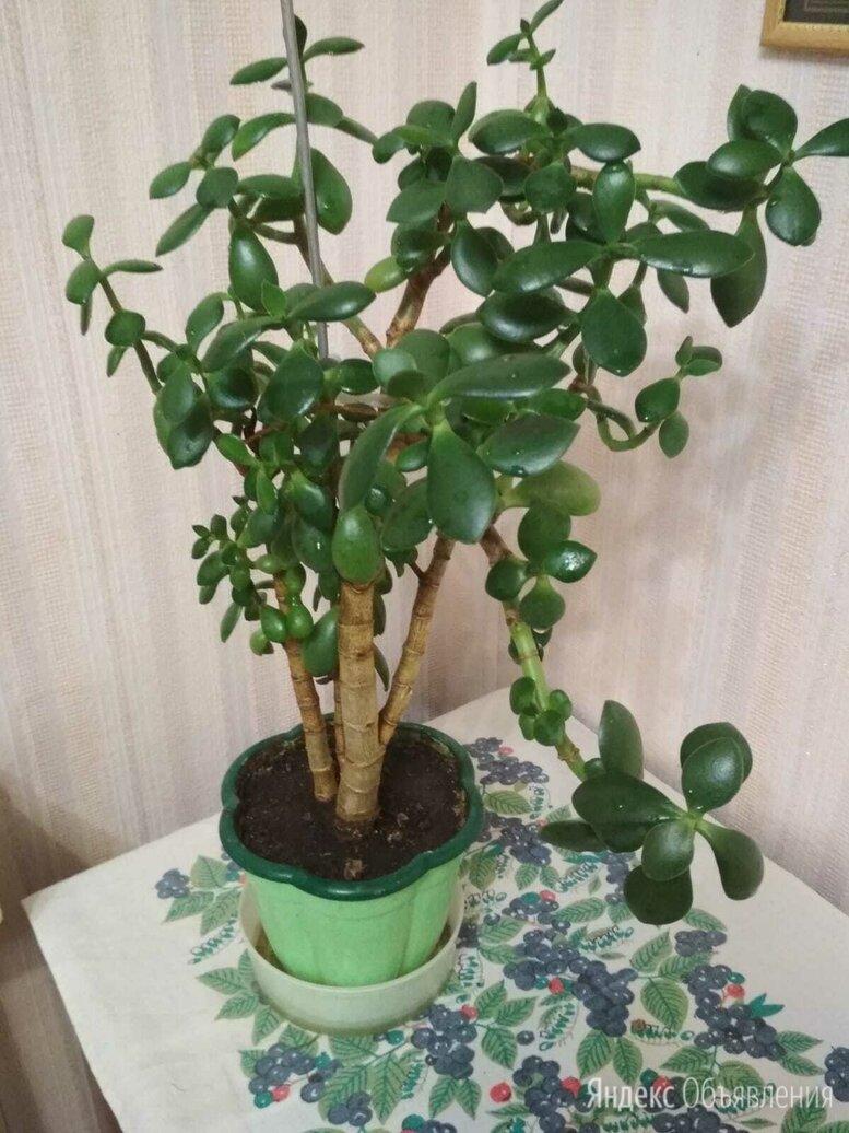 Крассула толстянка, денежное дерево по цене 800₽ - Комнатные растения, фото 0
