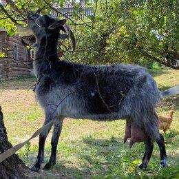 Сельскохозяйственные животные и птицы - Две дойные козы, 0