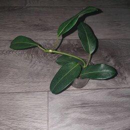 Комнатные растения - Стефанотис, 0