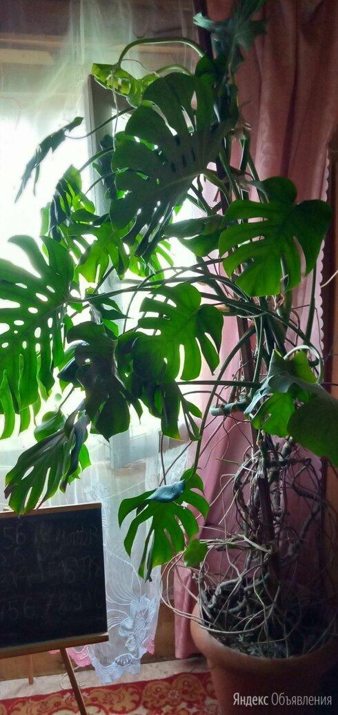 Пальма лиана монстера. по цене 6000₽ - Цветы, букеты, композиции, фото 0
