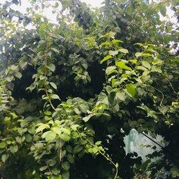 Рассада, саженцы, кустарники, деревья - Древогубец, 0