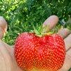 Саженцы земляники крупноплодной. по цене 70₽ - Рассада, саженцы, кустарники, деревья, фото 1