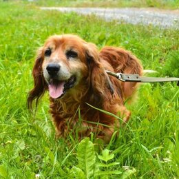 Собаки - Русский спаниель золотистый, 0