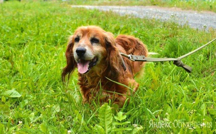 Русский спаниель золотистый по цене даром - Собаки, фото 0