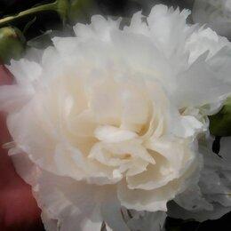 Цветы, букеты, композиции - Продам букеты пионов. Цветы крупные  белоснежные, бордовые, нежно розовые , 0