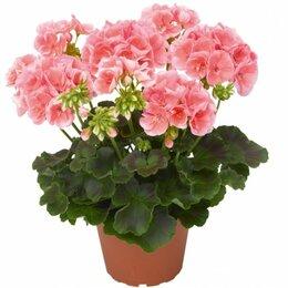 Комнатные растения - Пеларгония зональная (Герань), 0