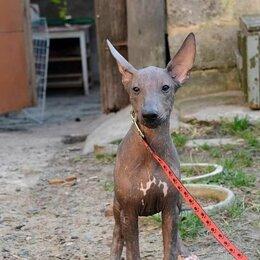 Собаки - Мексиканская ксолоитцкуинтли пуховая, 0
