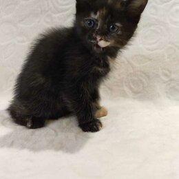 Кошки - Котенок черепахового окраса 1 месяц, 0