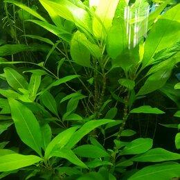 Растения для аквариумов и террариумов - Анубиас, лимонник -100 руб Щитолистник-50 руб., 0
