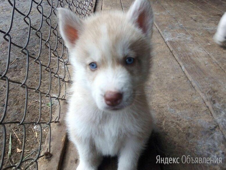 Щенки сибирской хаски по цене 3500₽ - Собаки, фото 0