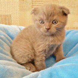 Кошки - Котята вислоухие шотландские , 0