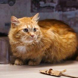 Кошки - Огненно-рыжий красавец-кот, 0