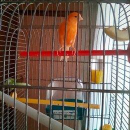 Птицы - Кенары певчие, 0