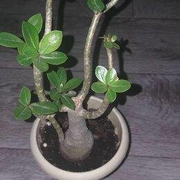 Комнатные растения - Адениум , 0