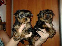 Собаки - Два щенка Йорка, 0