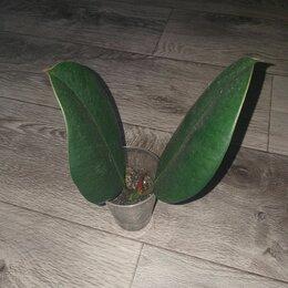 Комнатные растения - Фикус, 0