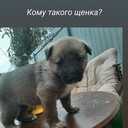 Собаки - Щенки 1,5 месяца все кушают, мама немка папа неизвестен, 0