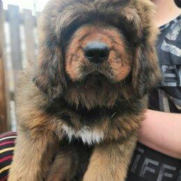 Собаки - Тибетский мастиф , 0