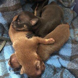 Собаки - Щенки мини тойтерьер , 0