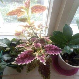 Комнатные растения - Цветок крапивка колеус, 0