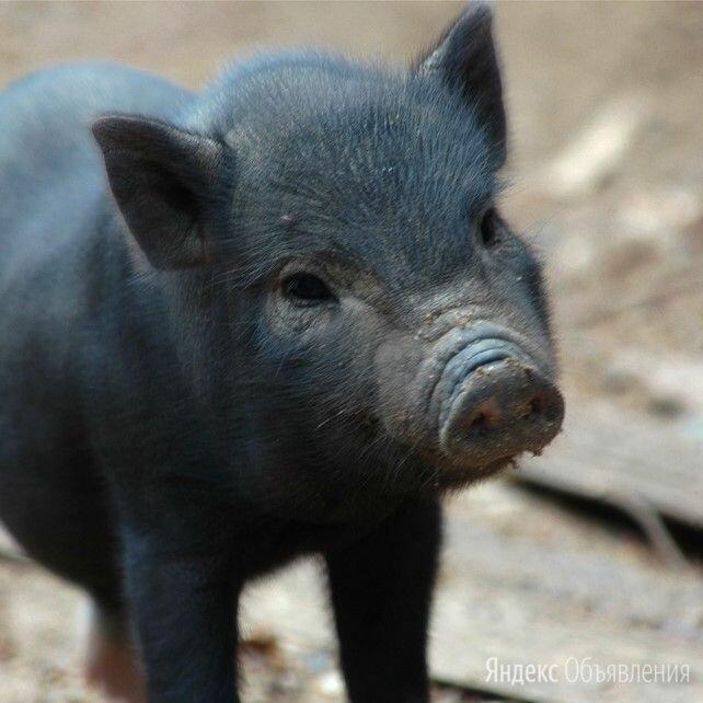 Черная вьетнамская свинка кабан по цене 2500₽ - Сельскохозяйственные животные и птицы, фото 0