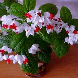 Комнатные растения - Клеродендрум Томсона , 0