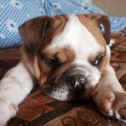 Собаки - Английский бульдог щенок продается, 0