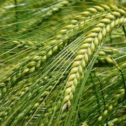 Семена - Продам семена озимой тритикале - сорт СИРС 57, 0