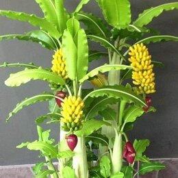 Комнатные растения - Карликовое банановое дерево, 0