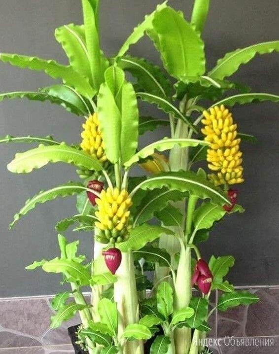 Карликовое банановое дерево по цене 25₽ - Комнатные растения, фото 0