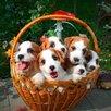 Высокопородные щенки джек рассел терьера по цене не указана - Собаки, фото 2