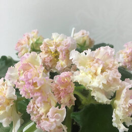 Комнатные растения - Листы сортовых фиалок, 0