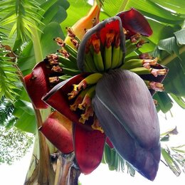 Рассада, саженцы, кустарники, деревья - Банановые пальмы,павловнии, церцис,водные ( кувшинки, лотос), 0