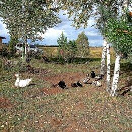 Сельскохозяйственные животные и птицы - Продаю уток голубой фаворит, мускусных и гусей, 0