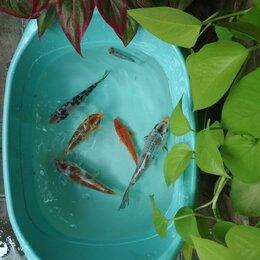 Аквариумные рыбки - Карп кои для пруда, 0