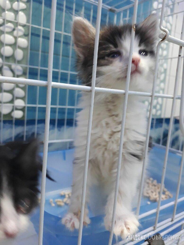 Котенок мальчик полупушистый ласковый по цене даром - Кошки, фото 0