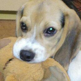 Собаки - Бигль щенок 3 месяца, 0